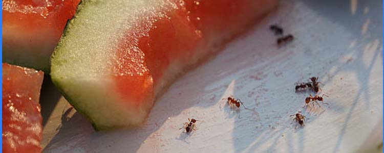 Ant Control Redland Bay